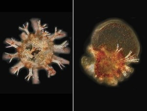 5 day-old sea urchins raised under normal and extreme conditions
